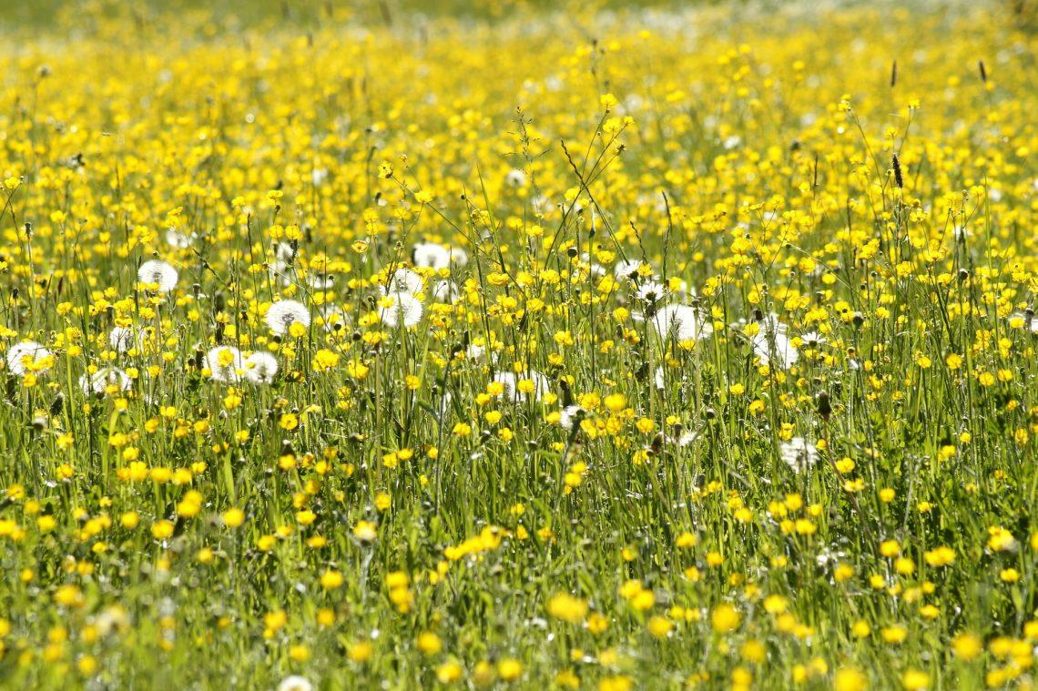 Blumenwiese mit Butterblumen und Pusteblumen