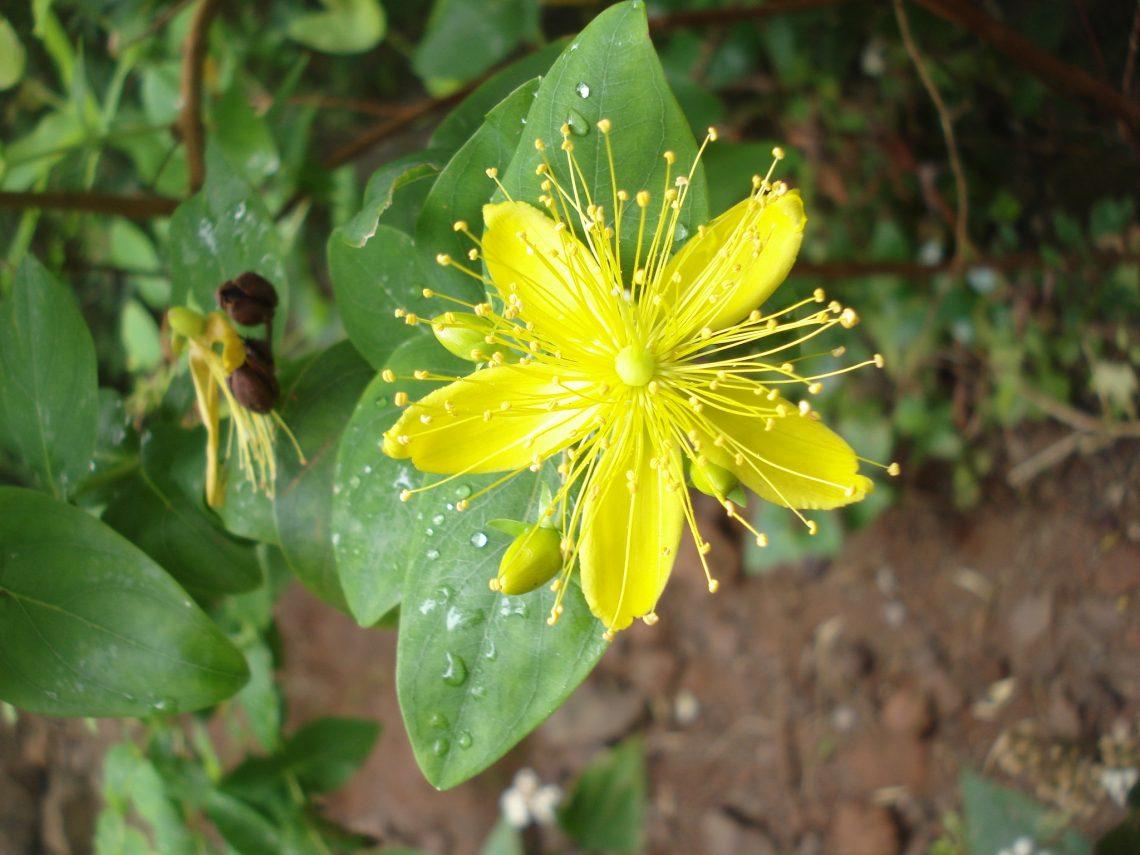 Johanniskraut pflanzliches Antidepressivum 1140x855 - Naturheilkunde
