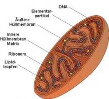 Mitochondriale Medizin - Naturheilkunde