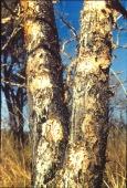 Multiple Sklerose boswellia carterii - Naturheilkunde