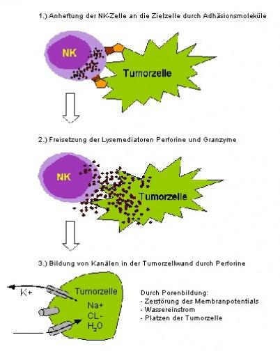 Natuerliche Killerzellen Tumorzelle - Naturheilkunde