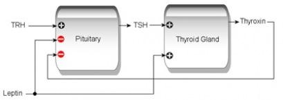 TSH Thyrotropin - Naturheilkunde