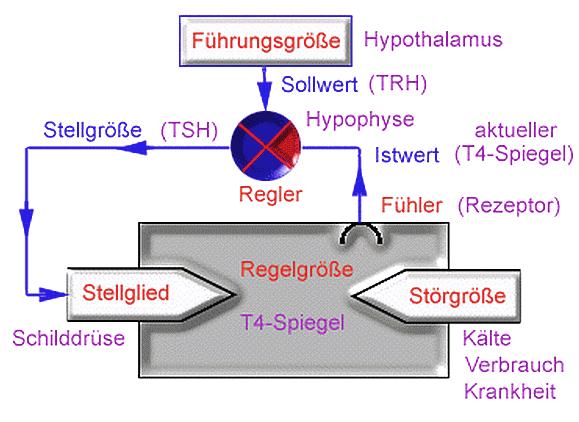 Thyroxin Grafik - Naturheilkunde