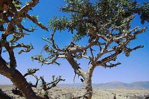 Weihrauch boswellia carterii Baum 300x200 - Naturheilkunde