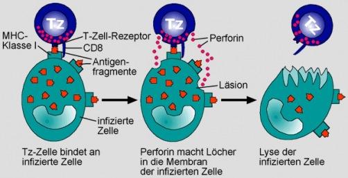 chlamydien oder viren in kernhaltiger wirtszelle - Naturheilkunde